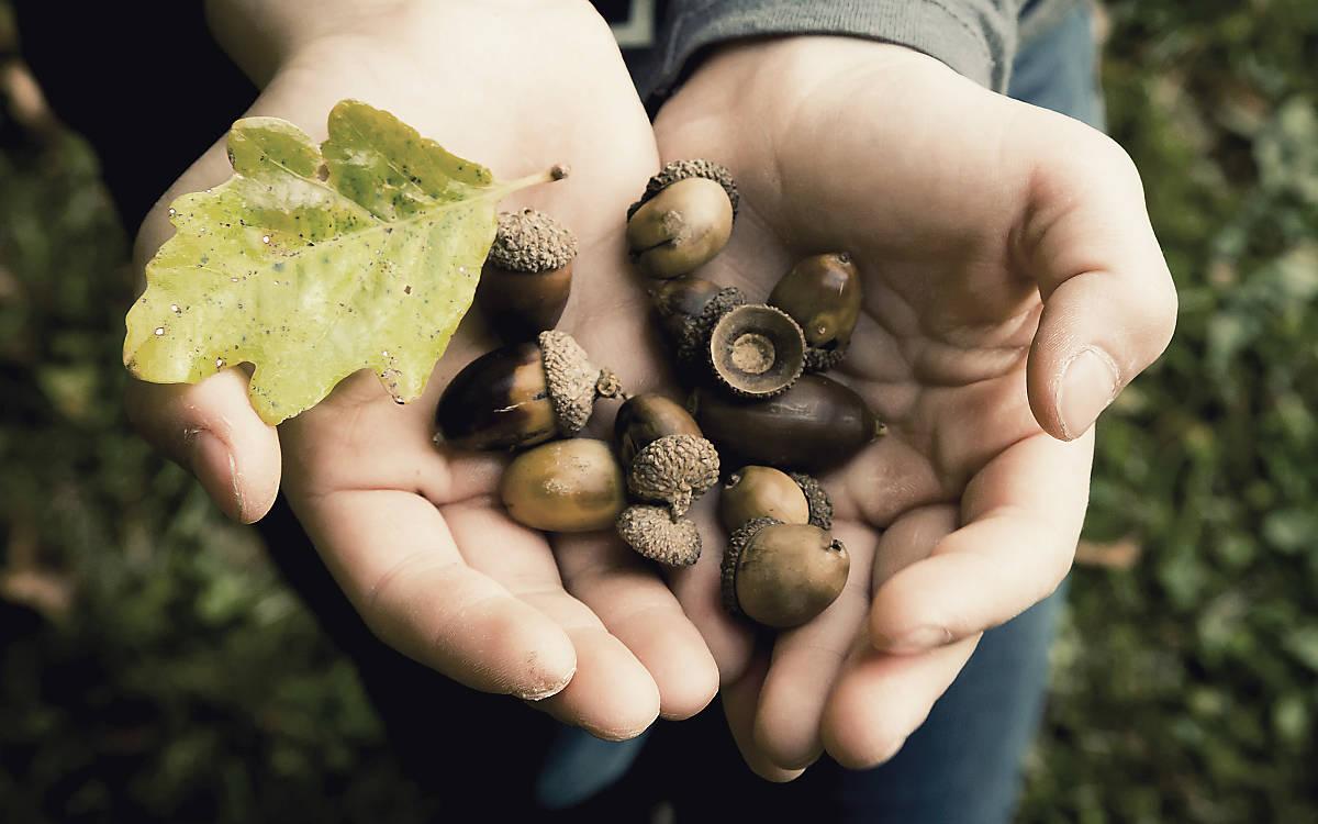 Kind hält Eicheln und Eichenblatt in den Händen
