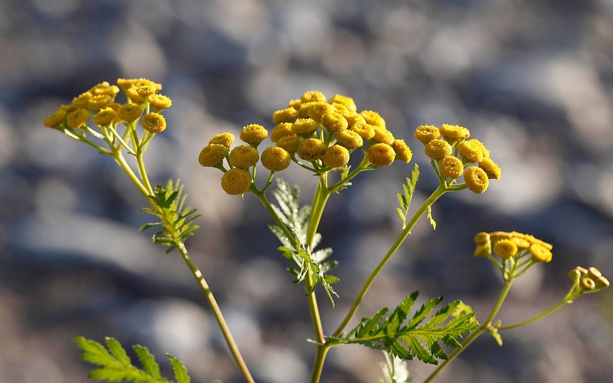 Rainfarn (Tanacetum vulgare) - Foto: imageBroker / Martin Siepmann