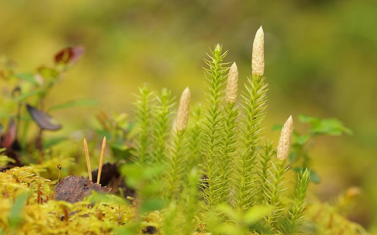 Sprossende Bärlapp (Lycopodium annotinum)