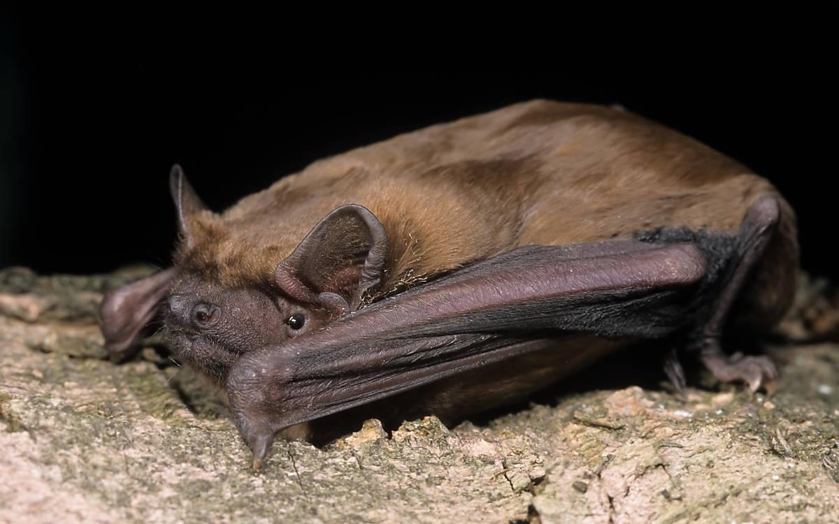 Der Große Abendsegler (Nyctalus noctula) ist eine vorrangig in Wäldern lebende Fledermausart. Er fängt seine Beute bei Geschwindigkeiten von bis zu 60 km/h.