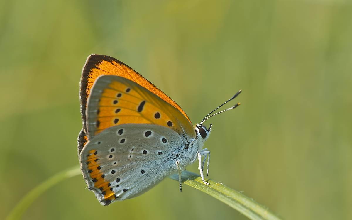 Der stark gefährdete Große Feuerfalter (Lycaena dispar) hat eine Flügelspannweite von 27 bis 40 Millimetern. Die Art gilt sowohl in Deutschland als auch in der EU als stark gefährdet.
