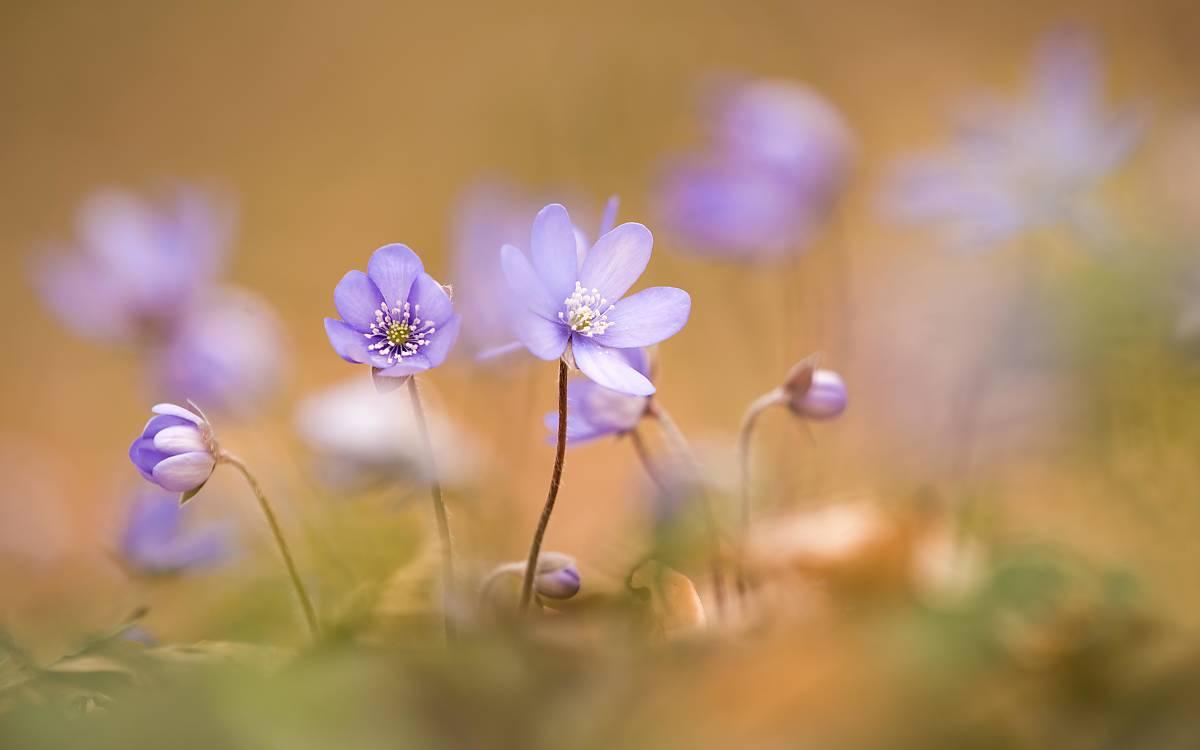 Das Leberblümchen (Hepatica nobilis) war Blume des Jahres 2013. Die im März aufgehenden violetten Blüten haben eine Lebensdauer von rund einer Woche.