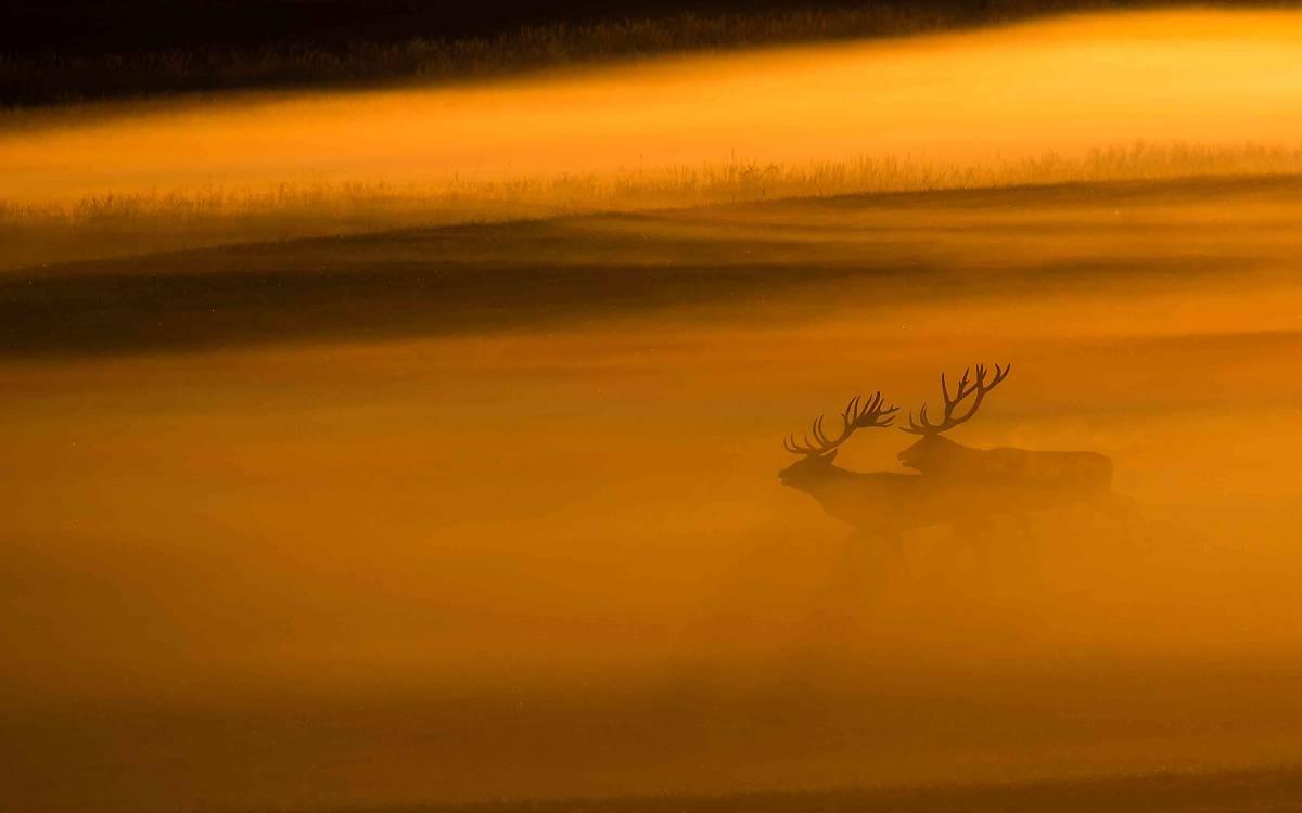 Hirsche im Nebel (Foto: Burckhard Stoecker)