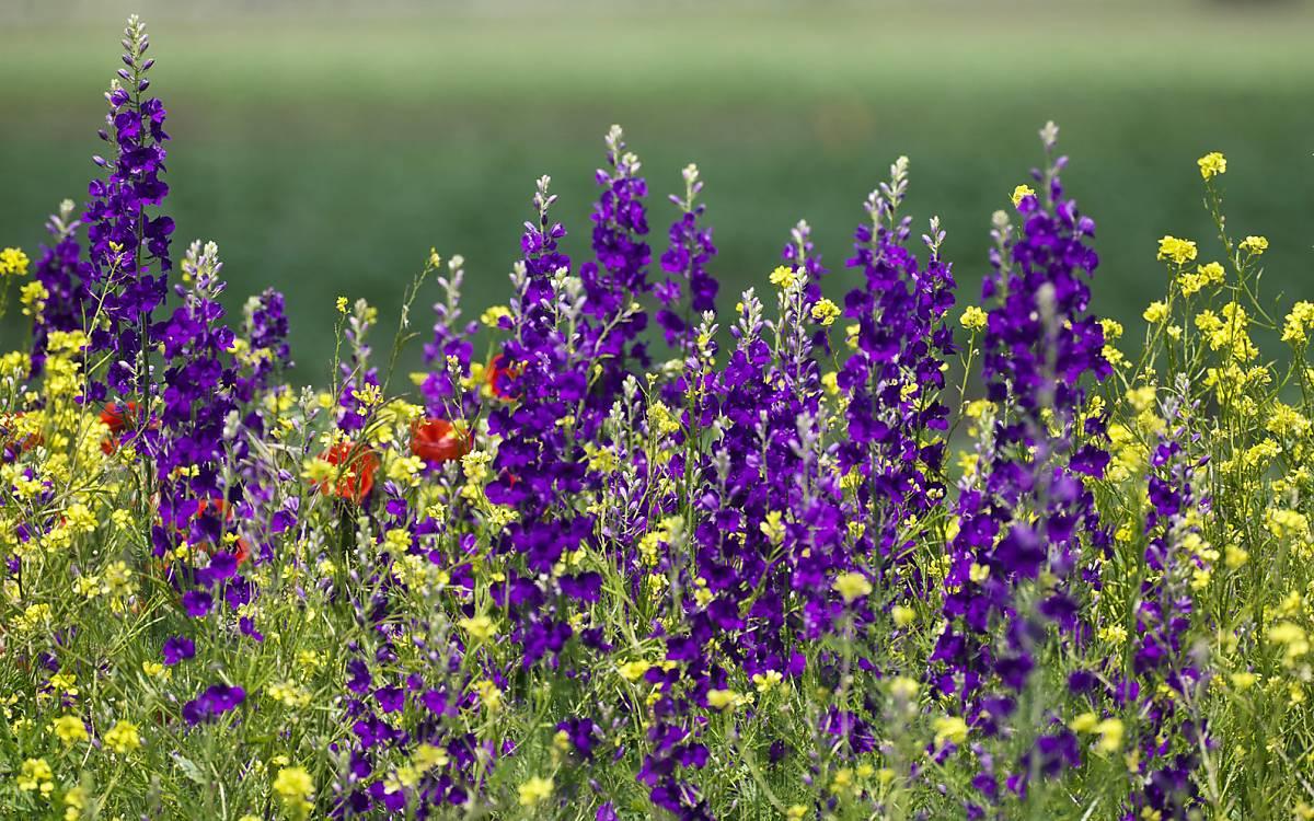 Der Feldrittersporn (Consolida regalis) blüht zwischen Juni und September. Hauptsächlich Hummeln erreichen mit ihren langen Rüsseln den Nektar, der sich im Sporn der Blüte befindet. Foto: ImageBroker/ Konrad Wothe