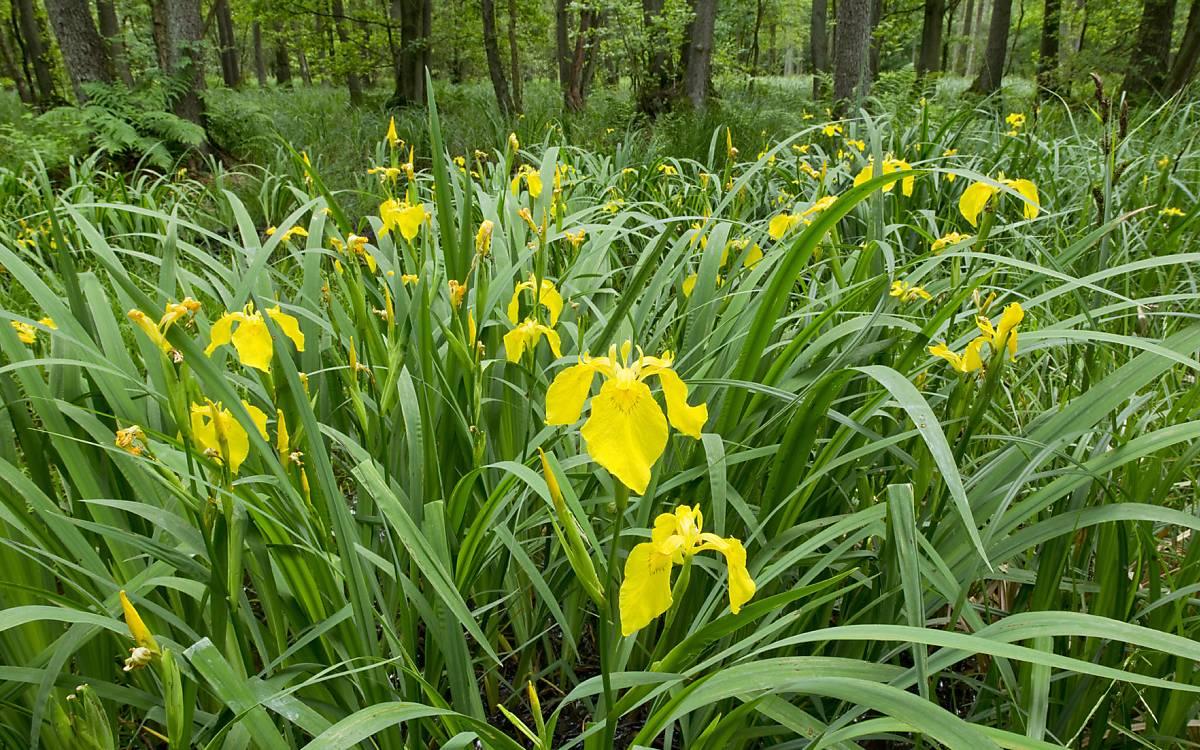 Sumpf-Schwertlilien (Iris pseudacorus) sind an den Ufern und in stehender und fließender Gewässer, in Niedermooren und in Bruchwäldern zu finden. Foto: ImageBroker/Kevin Prönnecke