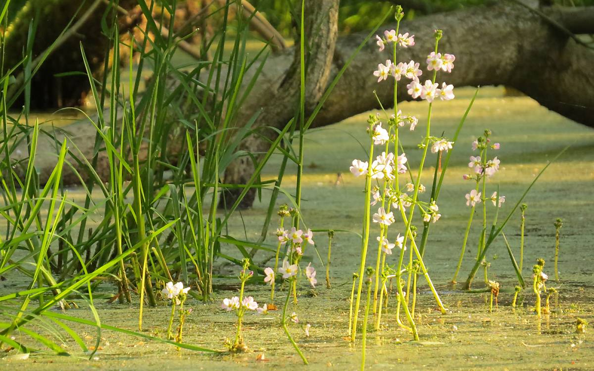 Die stark zerteilten Blätter der Wasserfeder (Hottonia palustris) dienen zur Oberflächenvergrößerung und damit zur besseren Aufnahme von Nährsalzen sowie Sauerstoff und Kohlendioxid. Foto: Elisabeth Haseloff