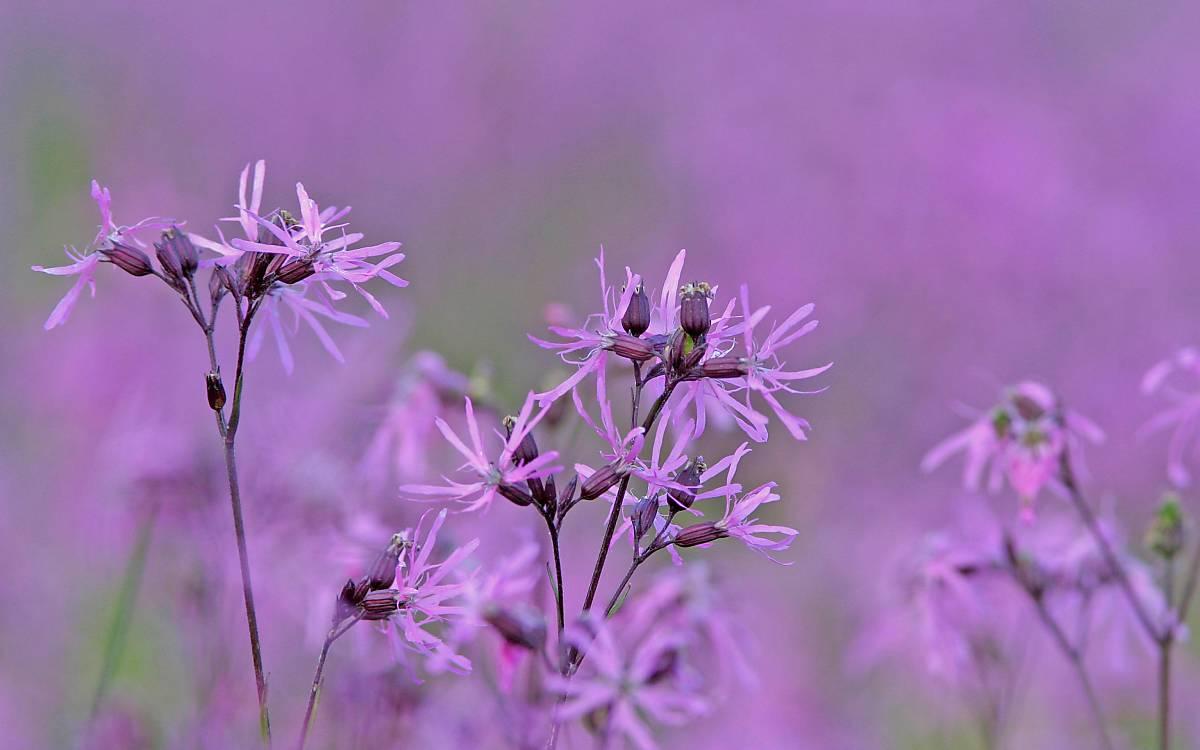 Die zerteilten Kronblätter der Kuckucks-Lichtnelke (Lychnis flos-cuculi) sorgen für besondere Anlockung der Insekten. Diese müssen allerdings einen langen Rüssel haben, wie z. B. Schmetterlinge und Wildbienen.