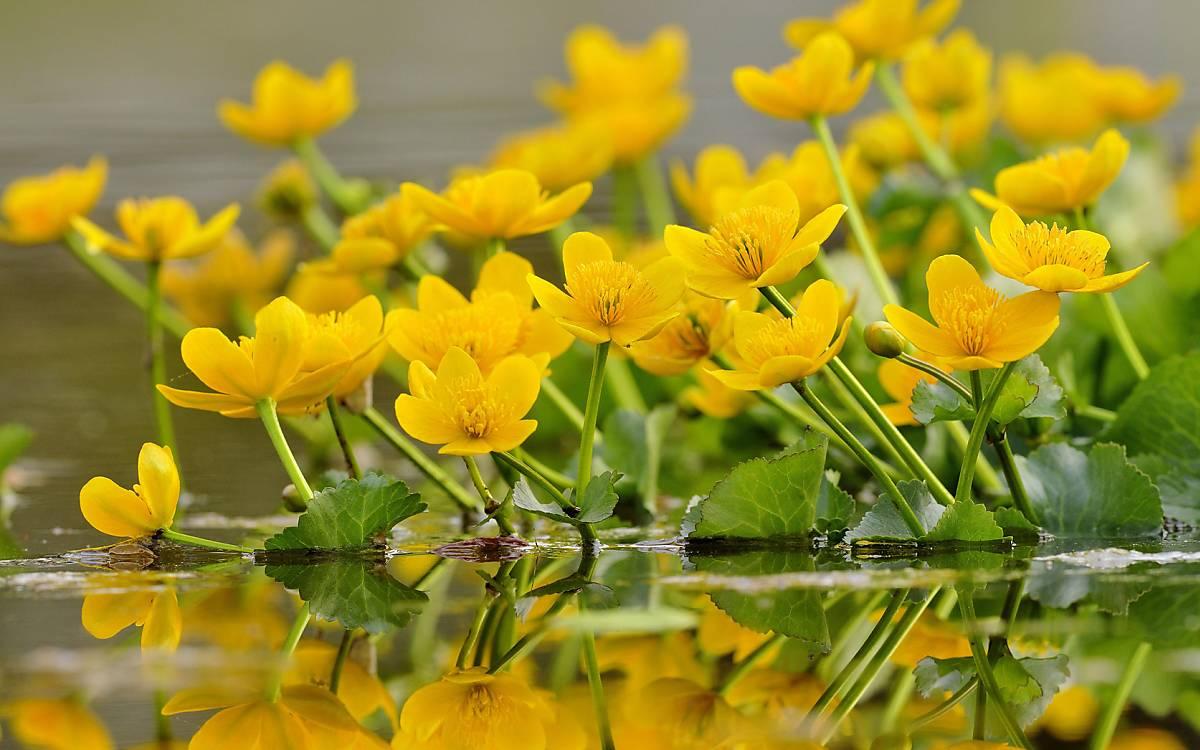 Die Sumpf-Dotterblume (Caltha palustris) kommt auf nährstoffreichen Böden vor. Früher wurde sie zur Einfärbung von Butter verwendet, daher ist der volkstümliche Name auch Butterblume.