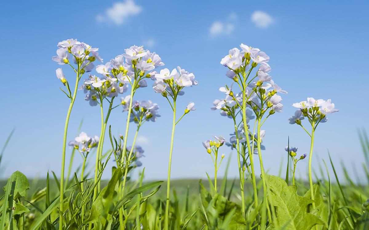 Das Wiesenschaumkraut (Cardamine pratensis), welches auch Muttertagsblume genannt wird, war 2006 Blume des Jahres. Es kommt auf Feuchtwiesen vor, blüht zwischen April und Juni und ist wegen des Nektarreichtums Nahrungsquelle für zahlreiche Insekten.