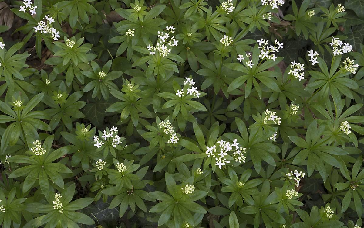Waldmeister (Hylocomium splendens)