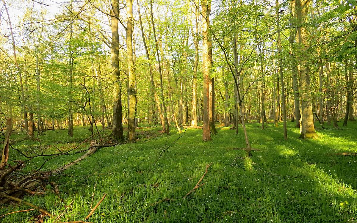 Hainbuchen-Stieleichen-Wälder sind meist licht und haben eine dichte und artenreiche Krautschicht aus Gräsern und Waldbodenkräutern. Dieser Waldlebensraum ist nach EU Recht geschützt, da er in Konkurrenz zu Landwirtschaftsflächen steht.