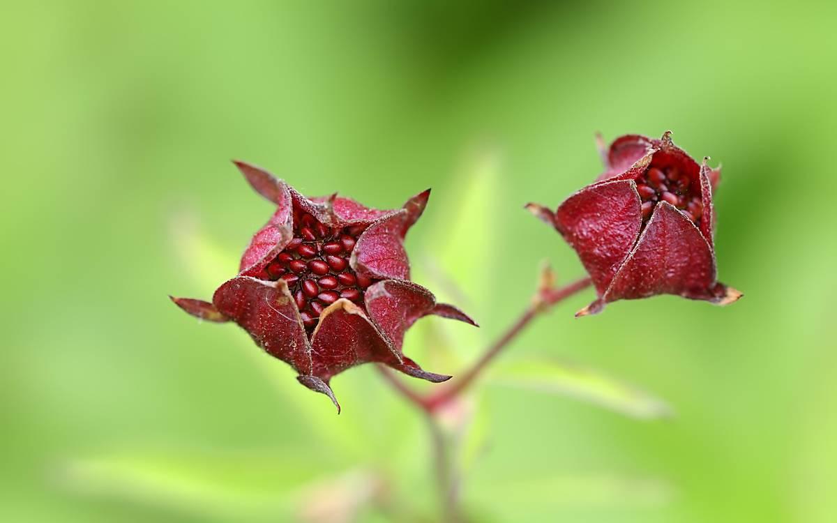 Sumpf-Fingerkraut oder Sumpf-Blutauge (Potentilla palustris) kommt in Mooren und nassen, offenen Schlammstellen vor. Die Früchte können bis zu 12 Monate im Wasser schwimmen und sich ausbreiten.