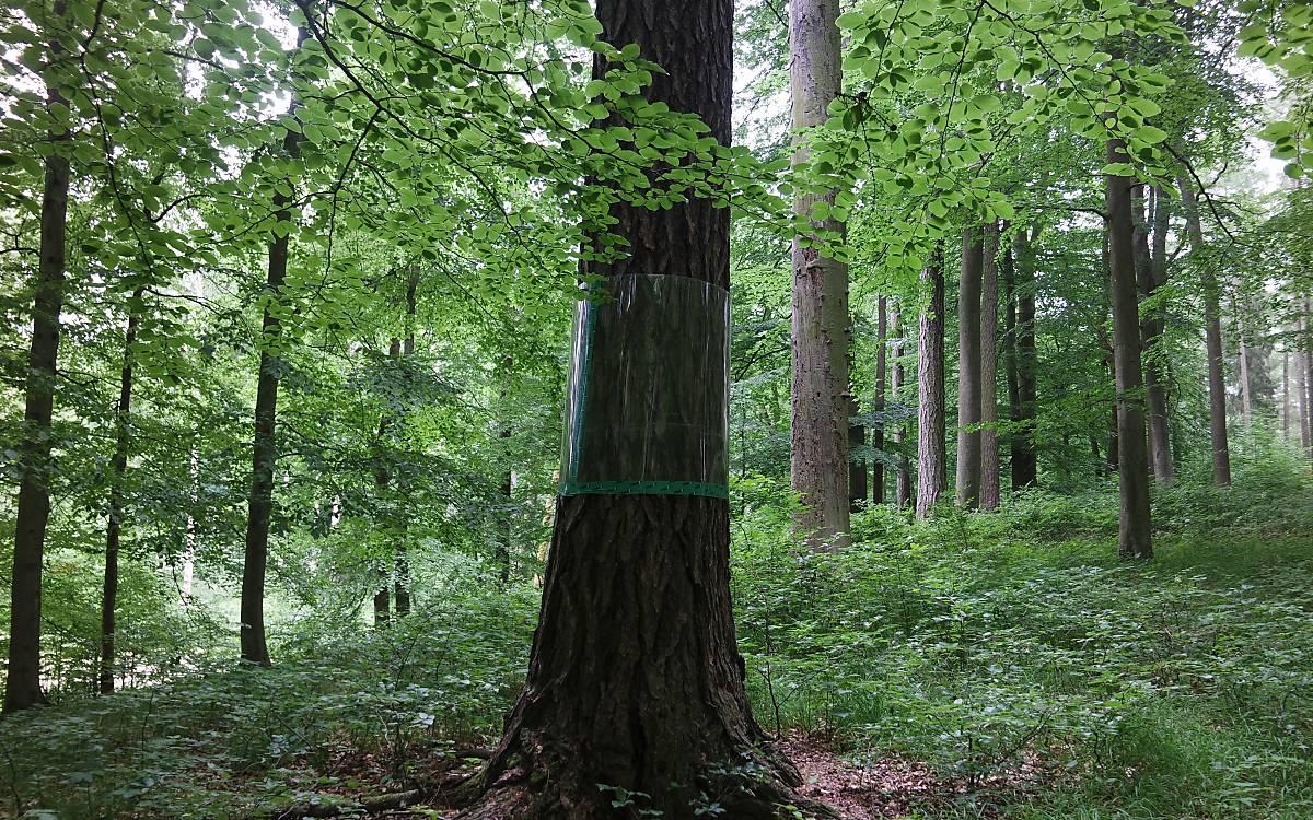 Wald in Klepelshagen (MV) Foto: Calvi