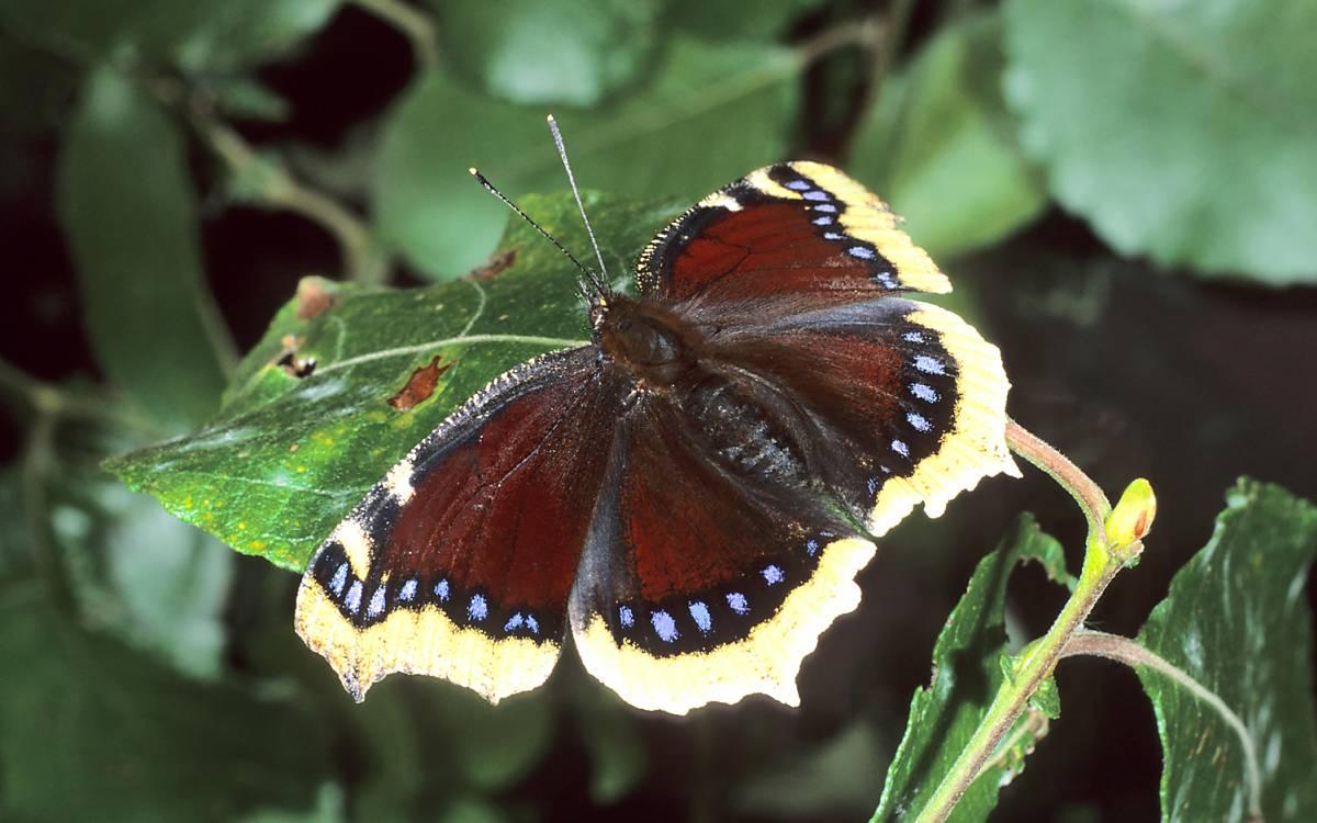 Trauermantel (Nymphalis antiopa)