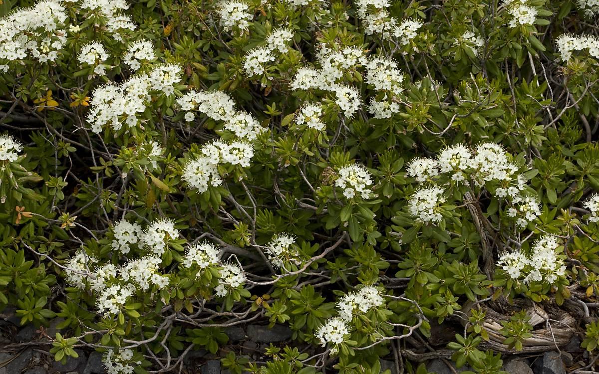 Sumpfporst (Ledum palustre L.)