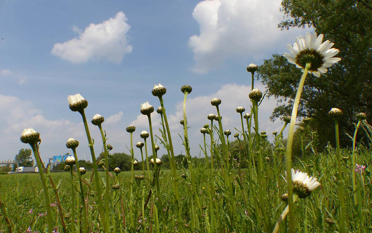 Margeriten auf der Einsaatfläche Jenerseite Foto: Gisela Bertram, Stiftung Ausgleich Altenwerder