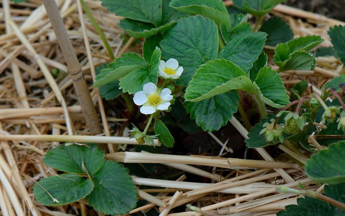 Pollen der Erdbeerpflanze (Fragaria) - Foto: imageBROKER.com / J. Pfeiffer