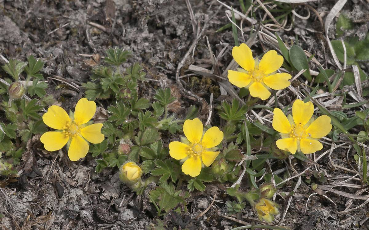 Pollen des Frühlings-Fingerkrauts (Potentilla tabernaemontani) - Foto: imageBROKER.com / Hans Lang