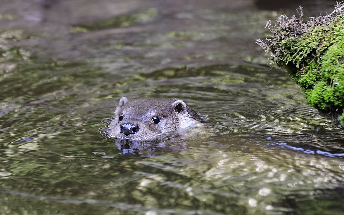 Fischotter – Foto: Naturfoto Hofmann