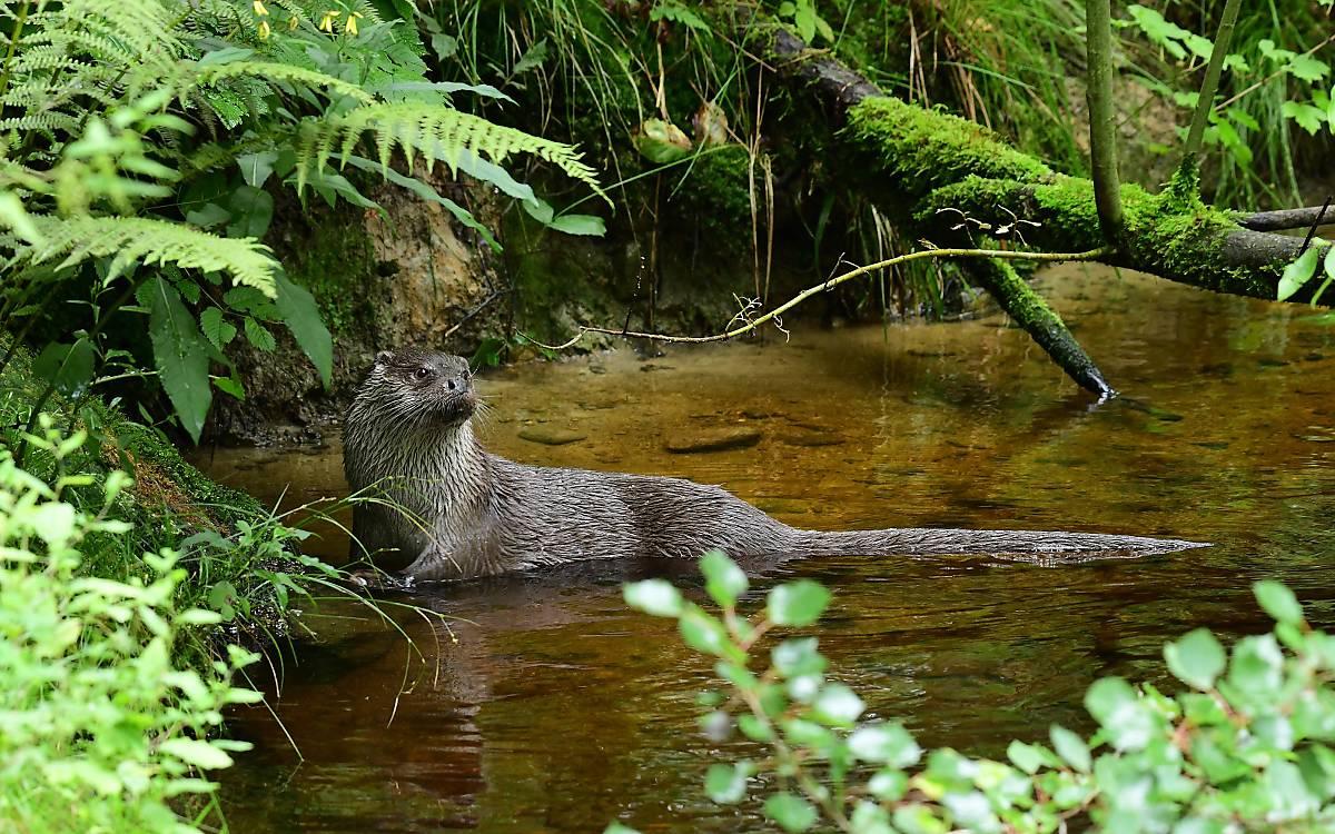 Fischotter im Wasser - Foto: Naturfoto Hofmann