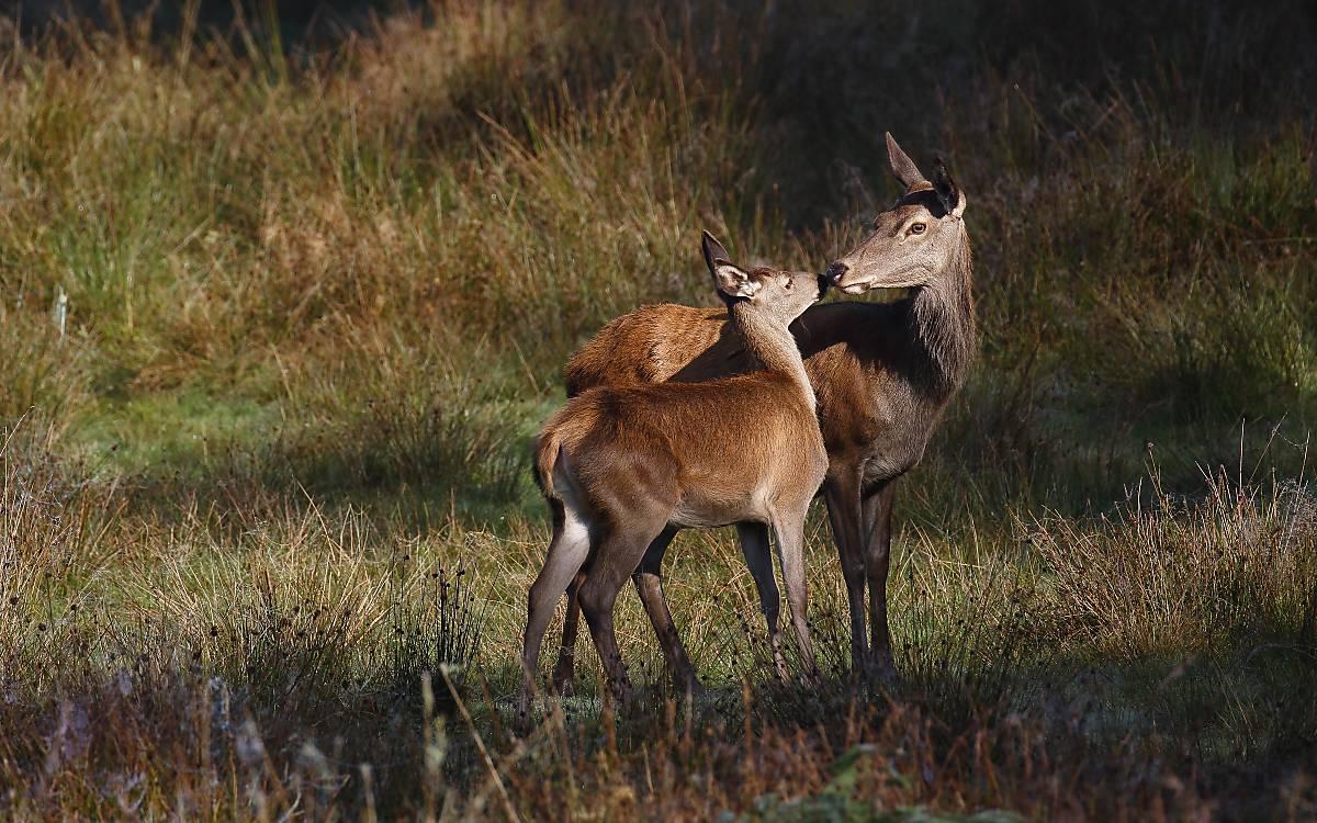 Hirschkuh Kalb haben eine enge Beziehung zu einander. Foto: imagebroker / Justus de Cuveland