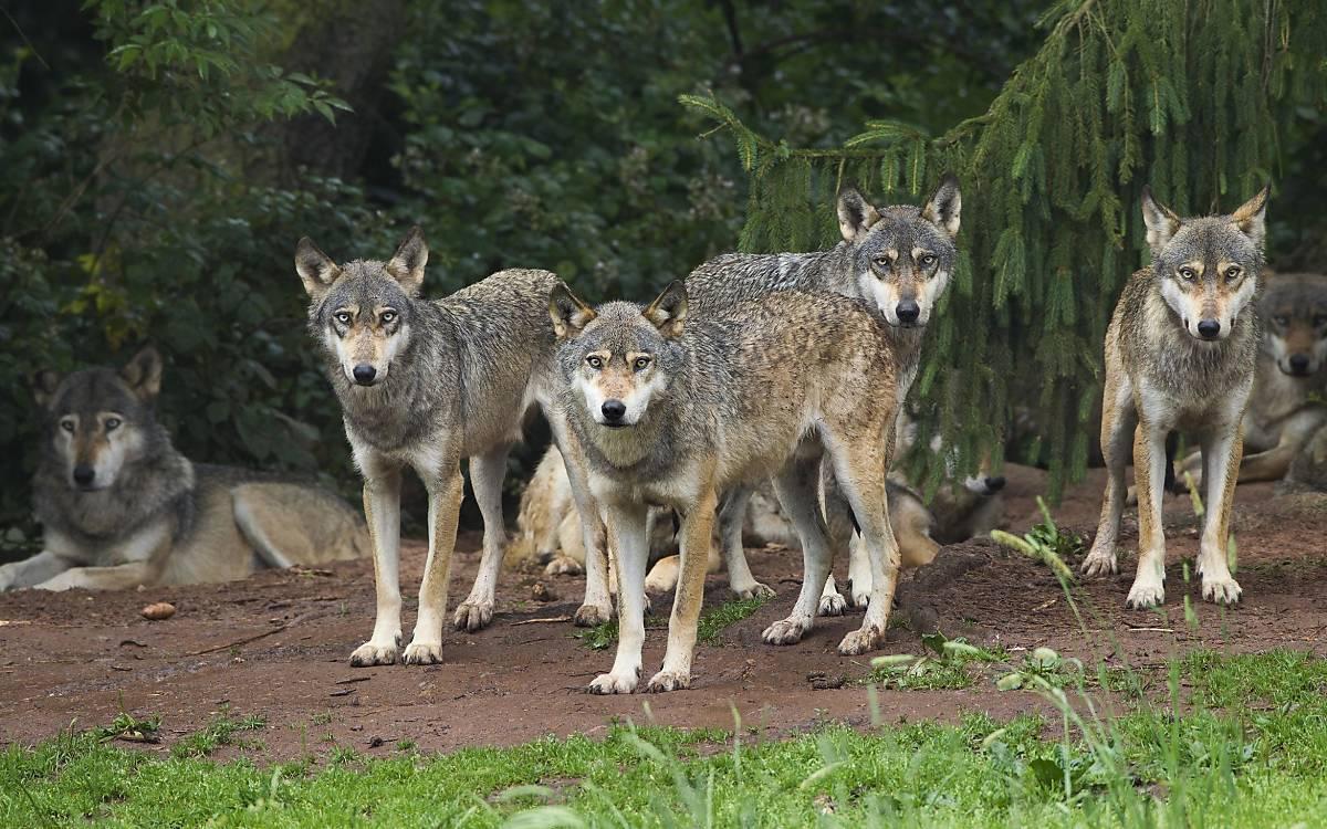 Wolfsrudel Foto: imageBroker /Christina Krutz