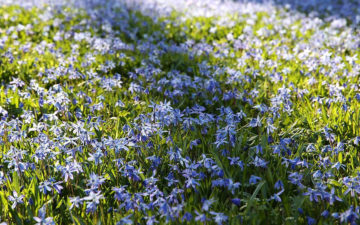 Frühjahrsblüher wie Blausterne oder Traubenhyazinthen bieten schon ab Februar Nahrung für Wildbienen