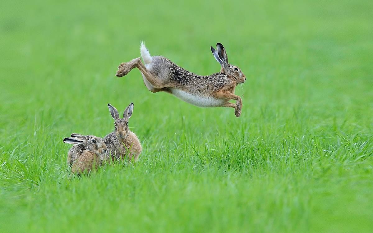 Drei Feldhasen auf einer Graswiese Foto:  © imageBROKER.com / Richard Dorn