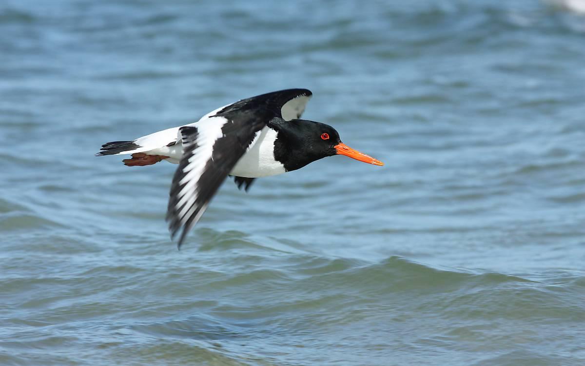 Austernfischer fliegend vor Helgoland