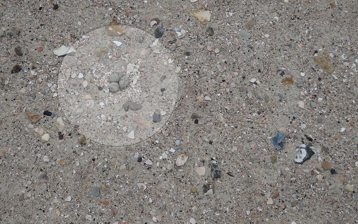 Sandregenpfeifer Gelege auf Föhr