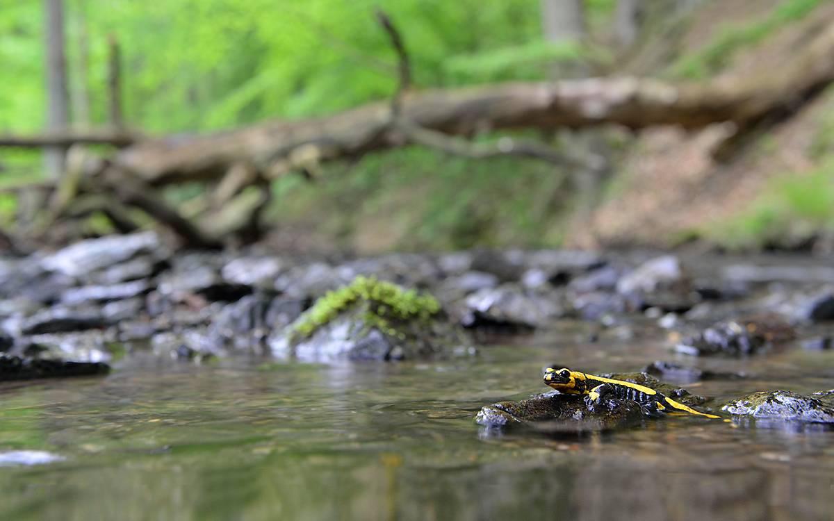 Bäche und Quellgewässer sind lebenswichtig für den Feuersalamander
