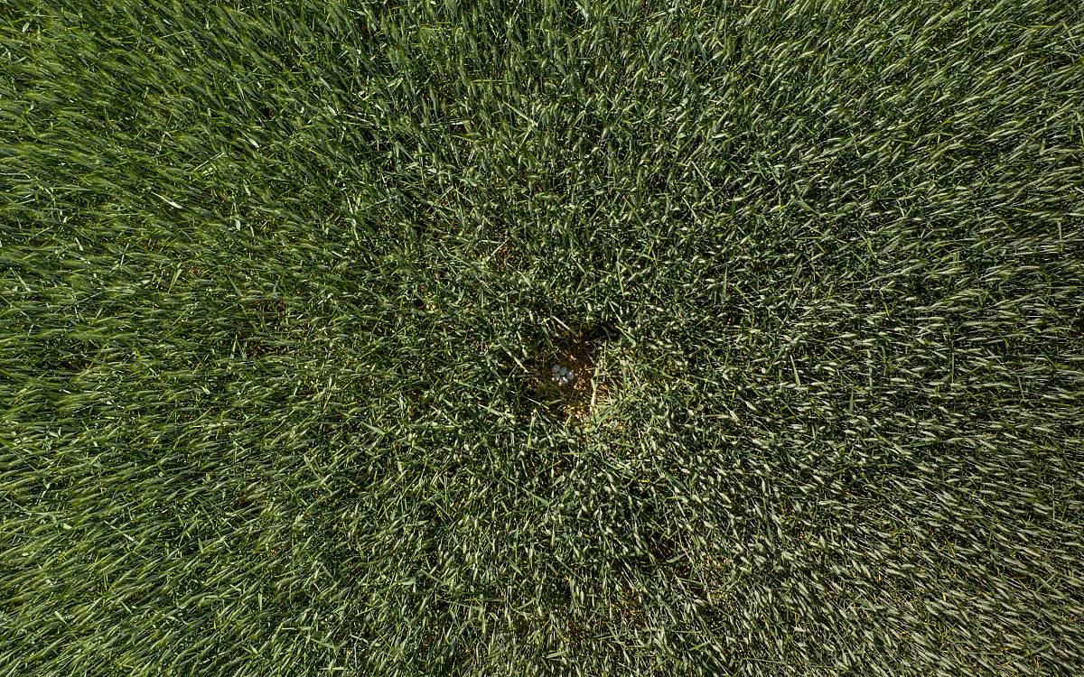 Luftaufnahme (mit einer Drohne) eines entdeckten Wiesenweihennests.