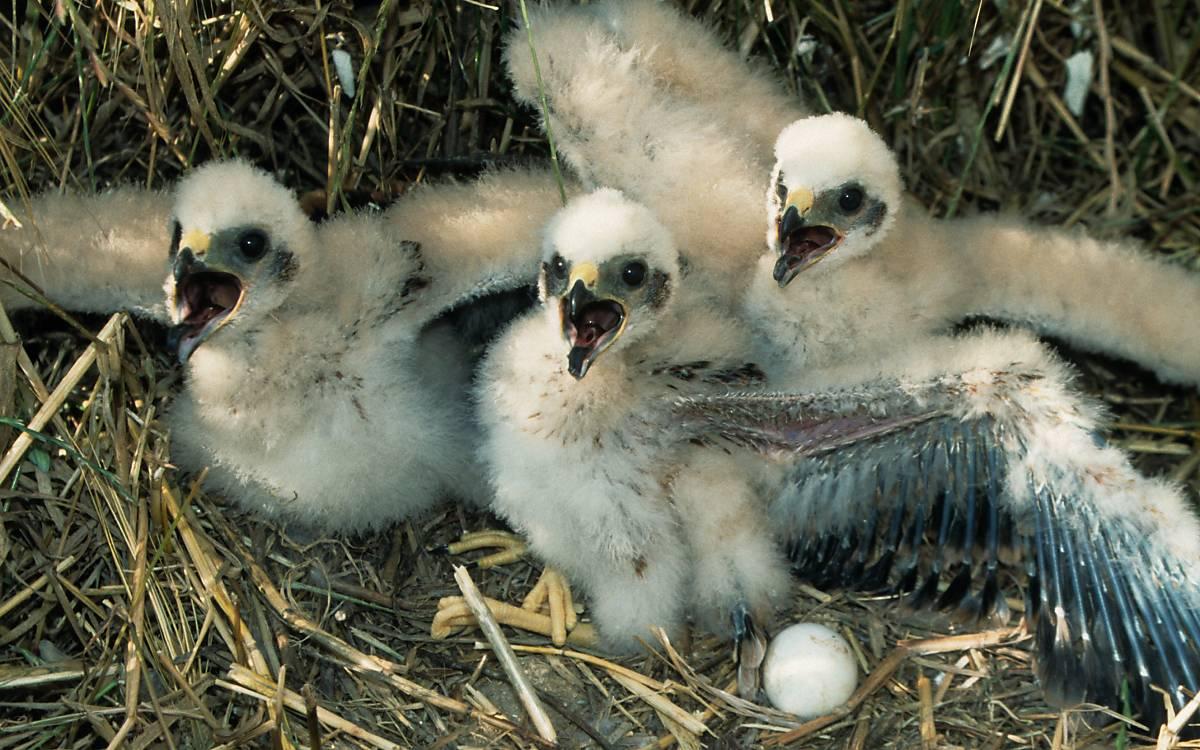 Die Jungtiere der Wiesenweihe werden zwei Monate versorgt, bis sie mit ihren Eltern das Nest verlassen.