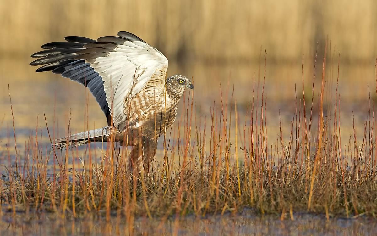 Rohrweihen-Männchen. Gut zu erkennen ist der typische Streifen über dem Auge.