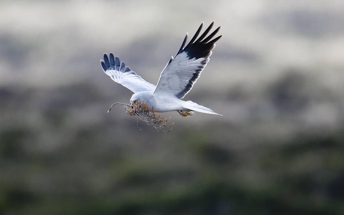 Kornweihen-Männchen: Die Schwingenspitzen sind typisch schwarz.