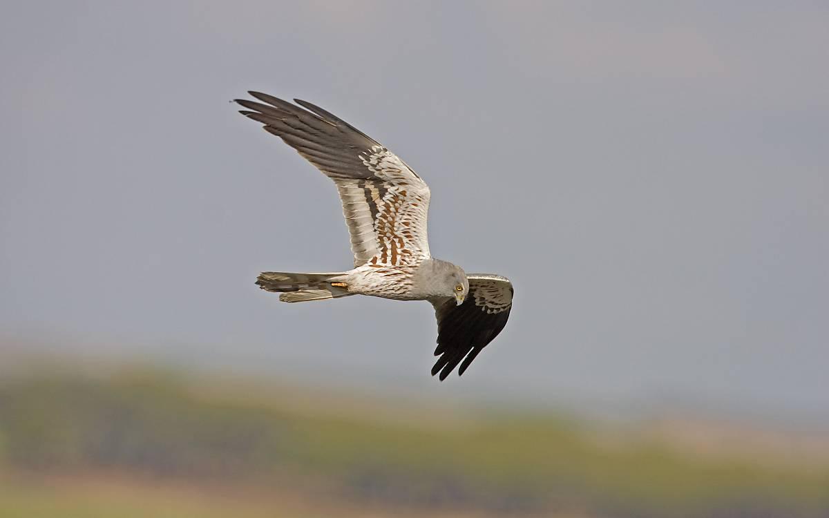 Wiesenweihen-Männchen. Die Unterseiten der Schwingen sind dunkel gestreift.