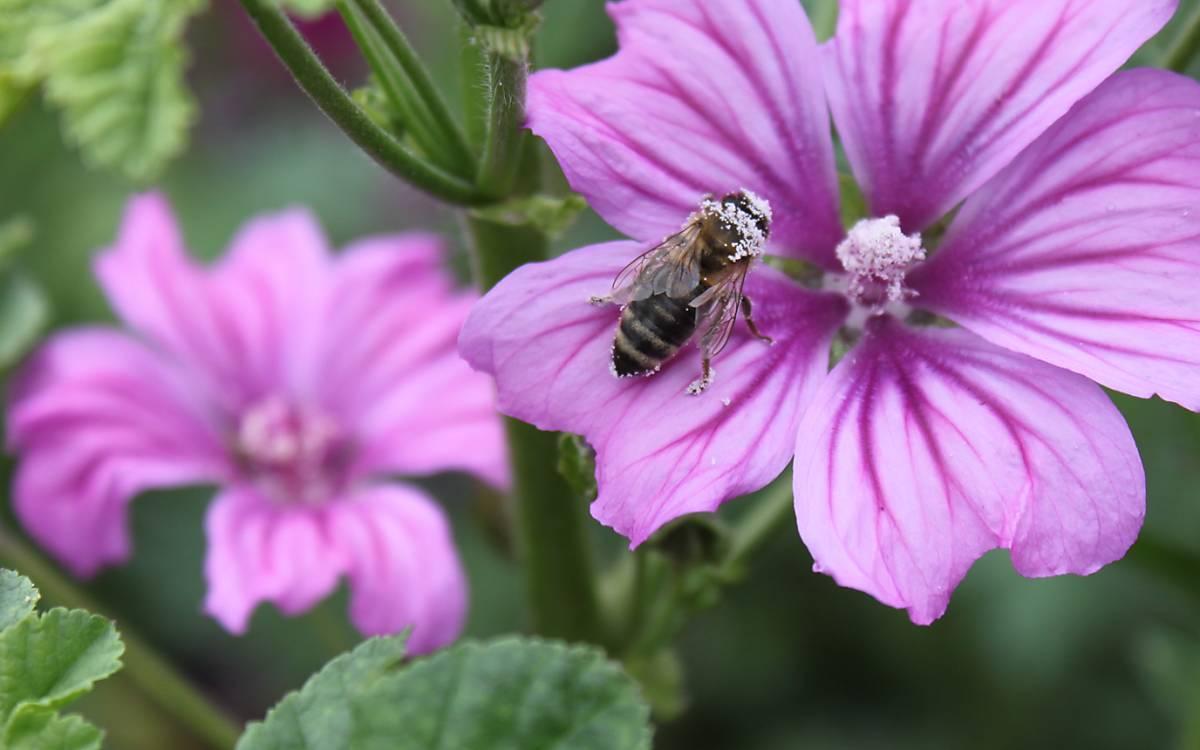 Wildbiene bestäubt mit Blütenpollen einer Wilden Malve