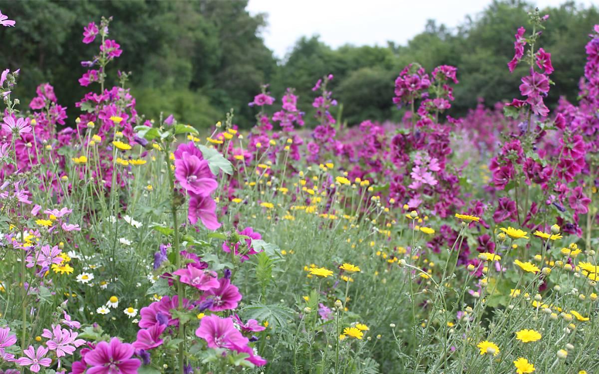 Mehrjährige Wildpflanzenkultur für die Biomasseproduktion
