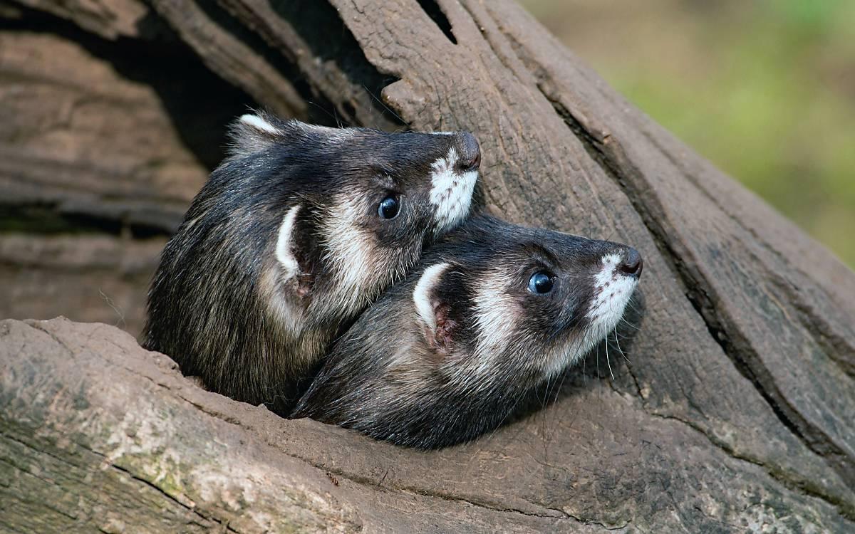 Ein hohler Baumstamm dient tagsüber als Schutz für ein Iltispaar