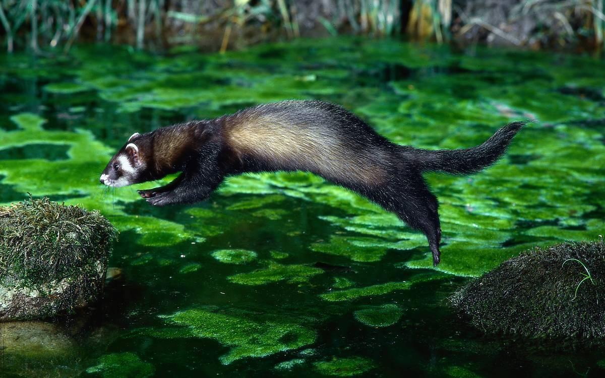 Naturnahe Gewässer sind für den Iltis ergiebige Jagdgebiete