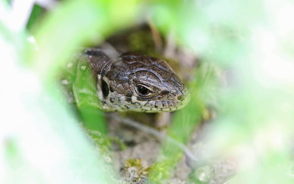 Zauneidechsen waren die ersten Zeigerarten am Fuchsberg. Auch in diesem Frühjahr konnten wieder mehrere Weibchen beobachtet werden.