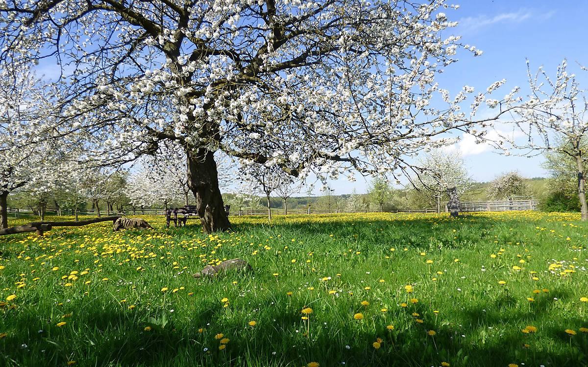 Ein Obstbaum in voller Blüte auf der Streuobstwiese in Klepelshagen
