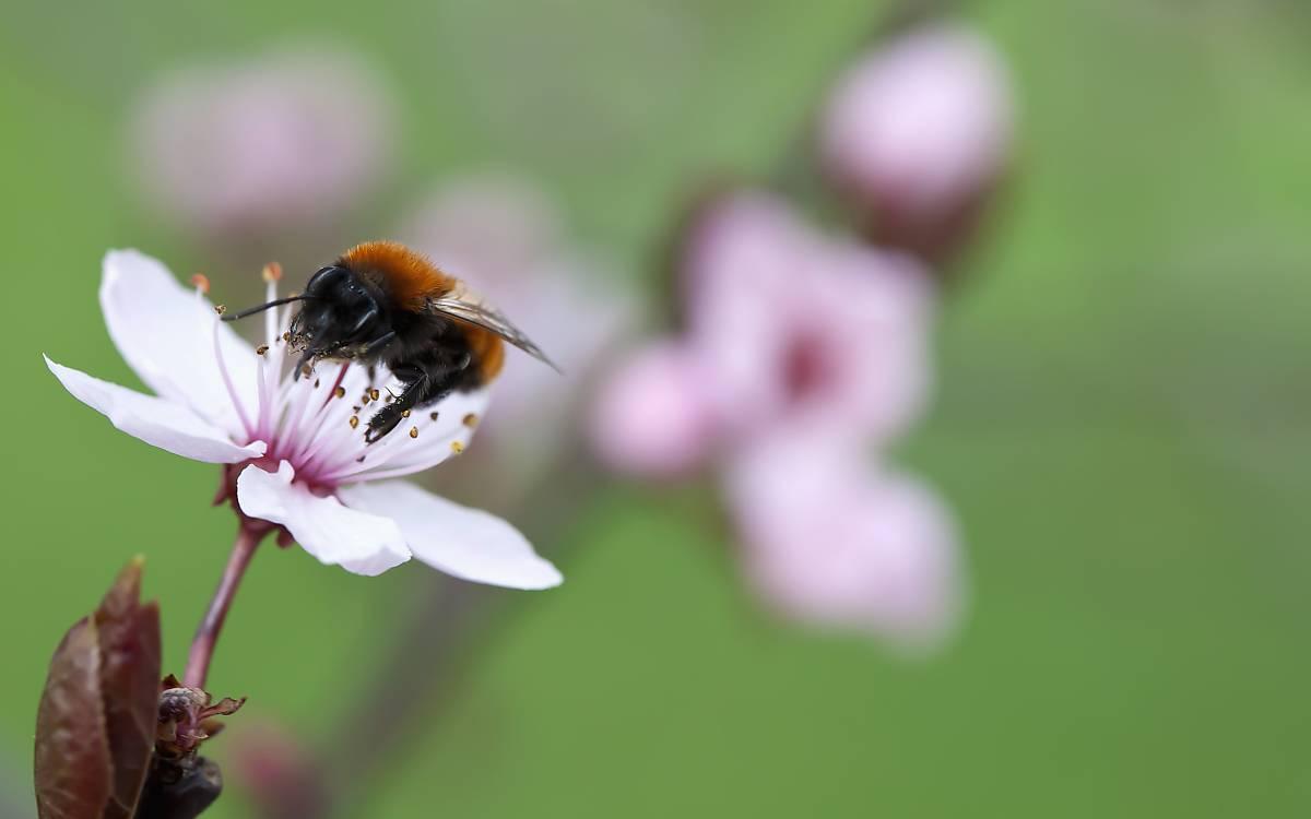 Wildbienen nutzen Nektar und Pollen von den Blüten alter Obstbäume