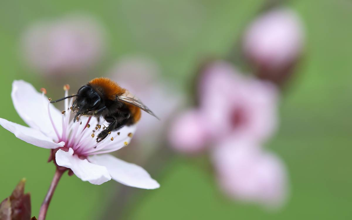 Wildbiene auf einer Kirschblüte - Foto: ArcoImages