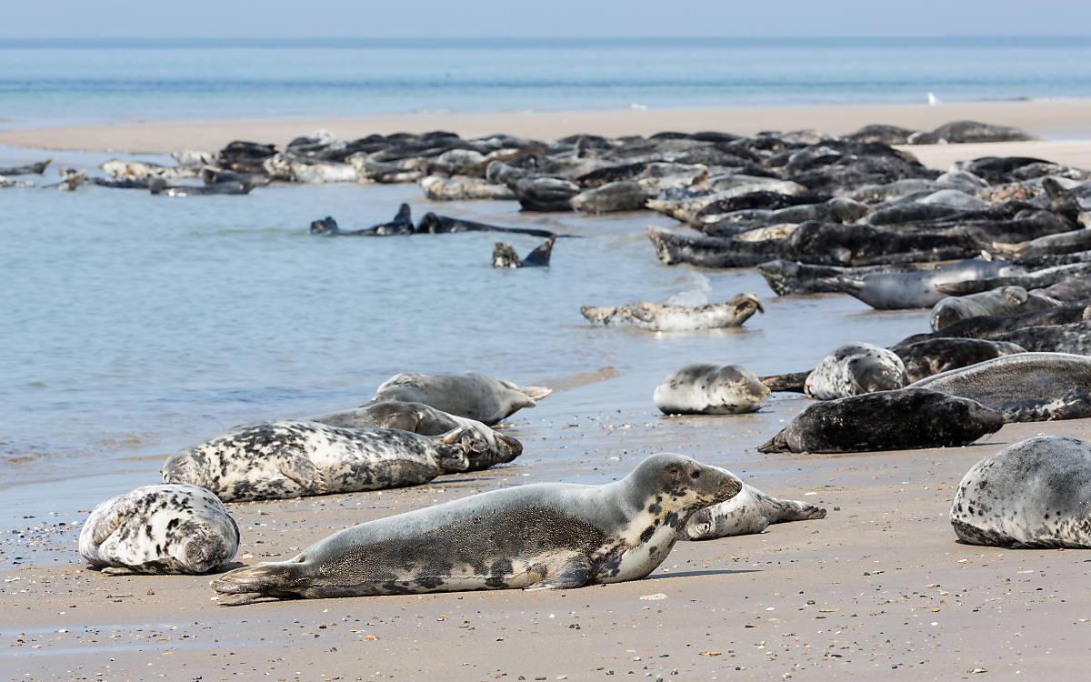 Kegelrobben am Strand auf Helgoland © T.W. van Urk/Shutterstock