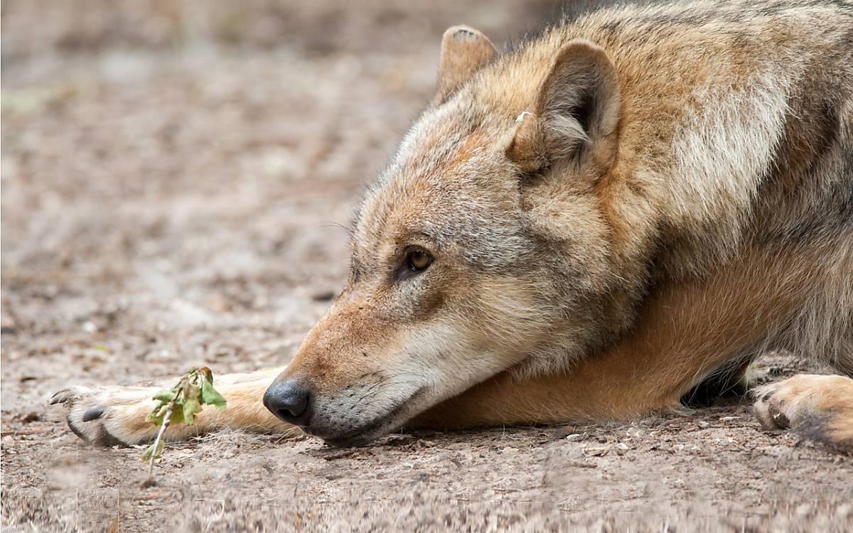Wolf - Foto: Anne Friesenborg
