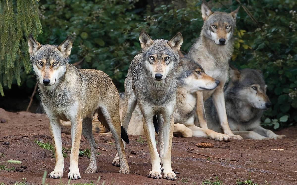 1-wolfsrudel