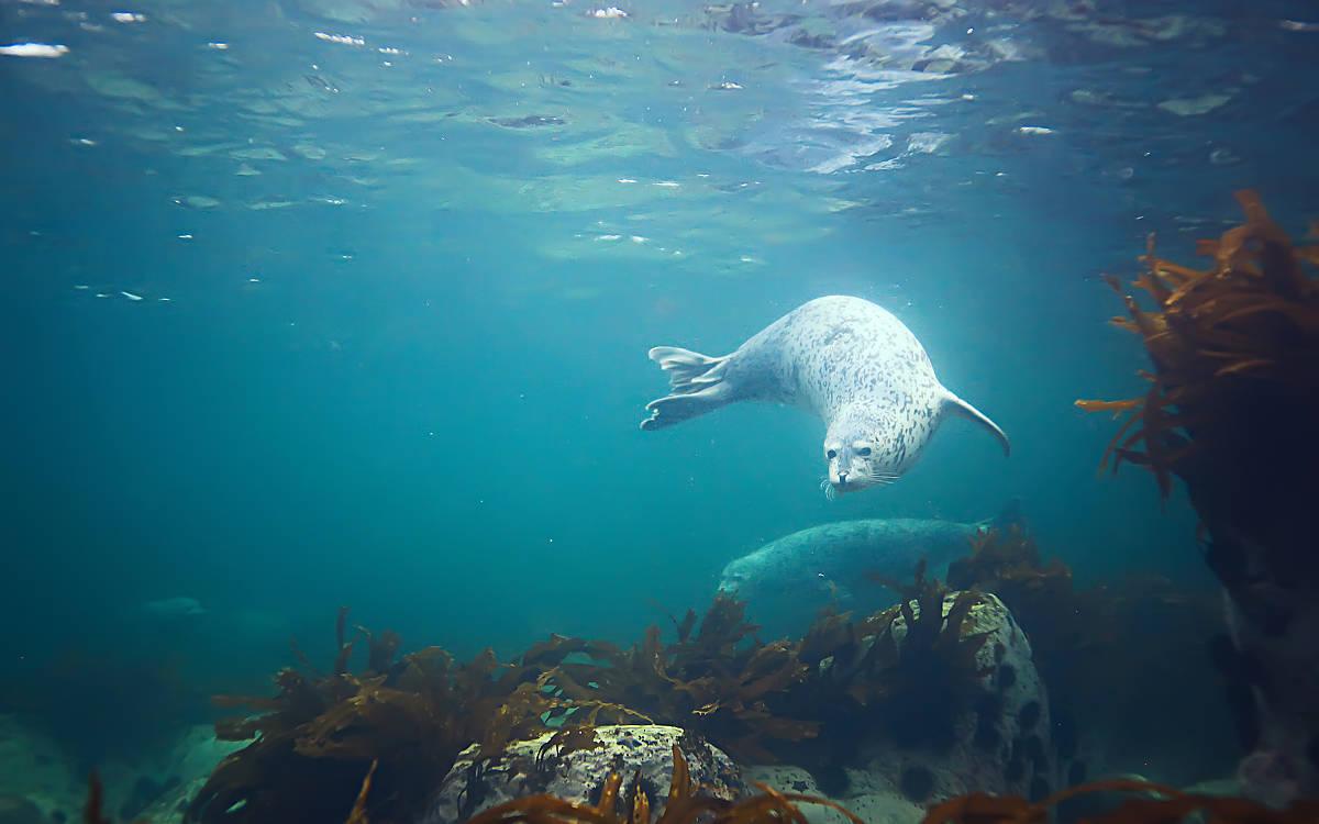 Robbenunterwasserfoto in der wilden Natur, © Kichigin/Shutterstock