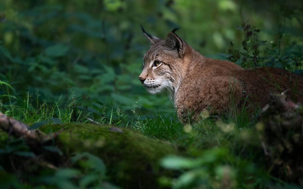 Eurasische Luchs (Lynx lynx), sitzt im Gebüsch © imageBROKER.com / Farina Graßmann