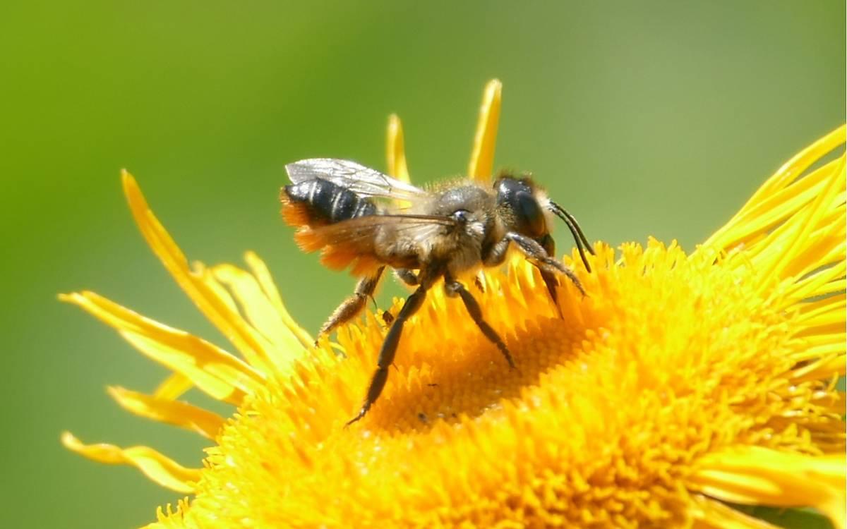 Stängel-Blattschneiderbiene (Megachile genalis)